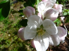 ant in apple blossom