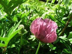 plum poppy