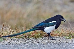 800px-Black-Billed_Magpie