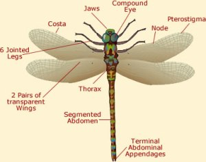 dragon fly anatomy