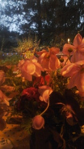 late anemones