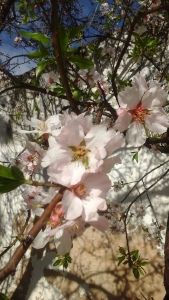 almond blossom in Farro