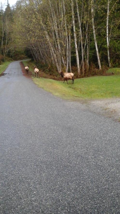 elk at earls cove
