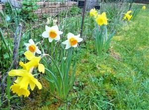 kelly's daffodils