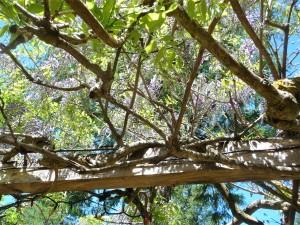 wisteria haze