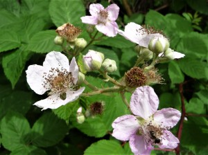 blackberry blossom