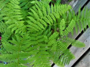lady fern and maidenhair
