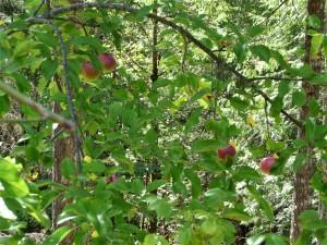 stray apples