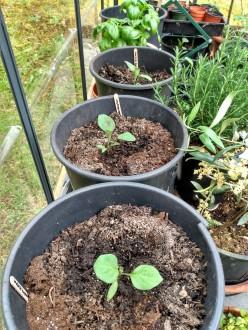 new eggplants