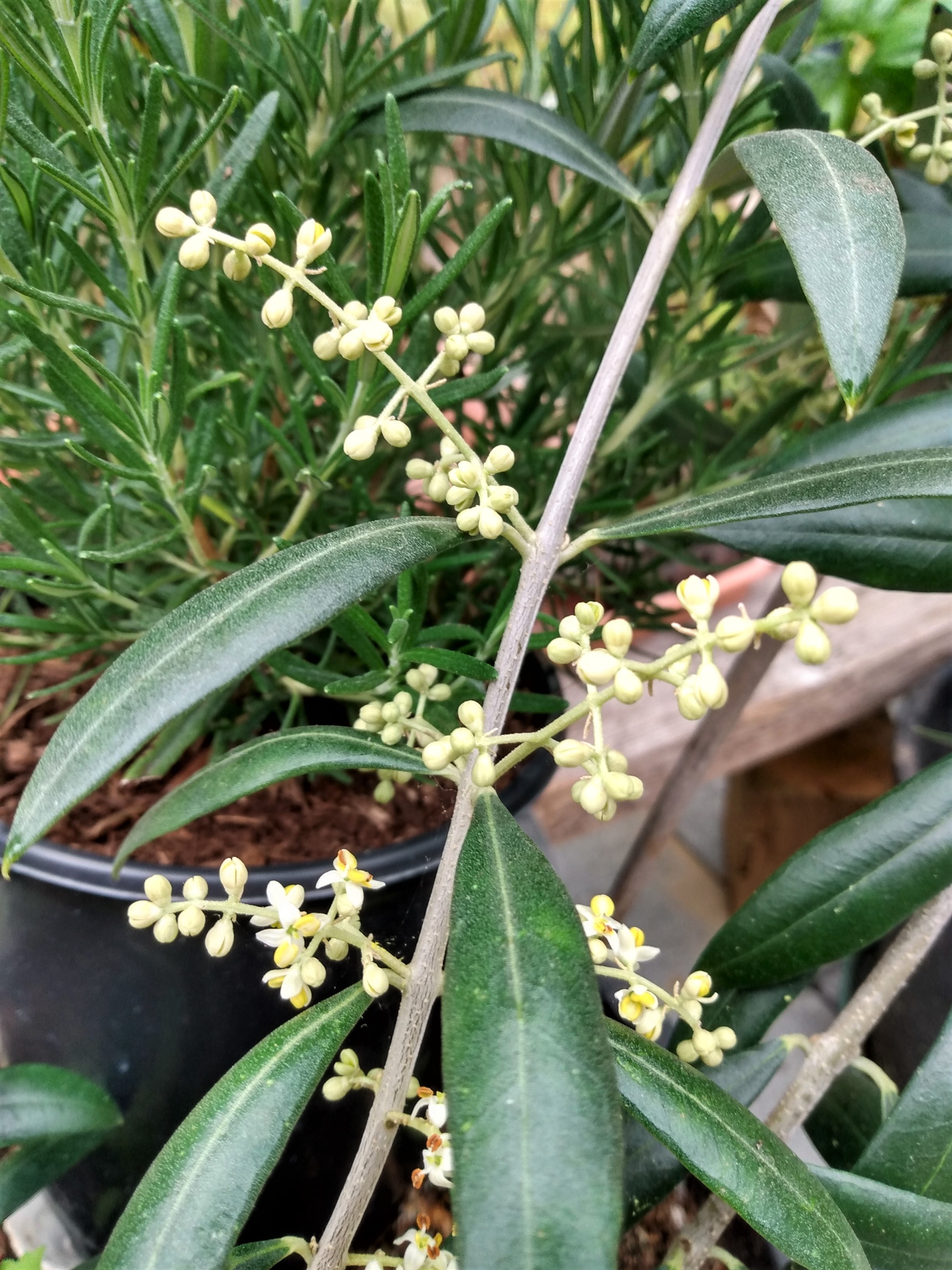 olive flowers