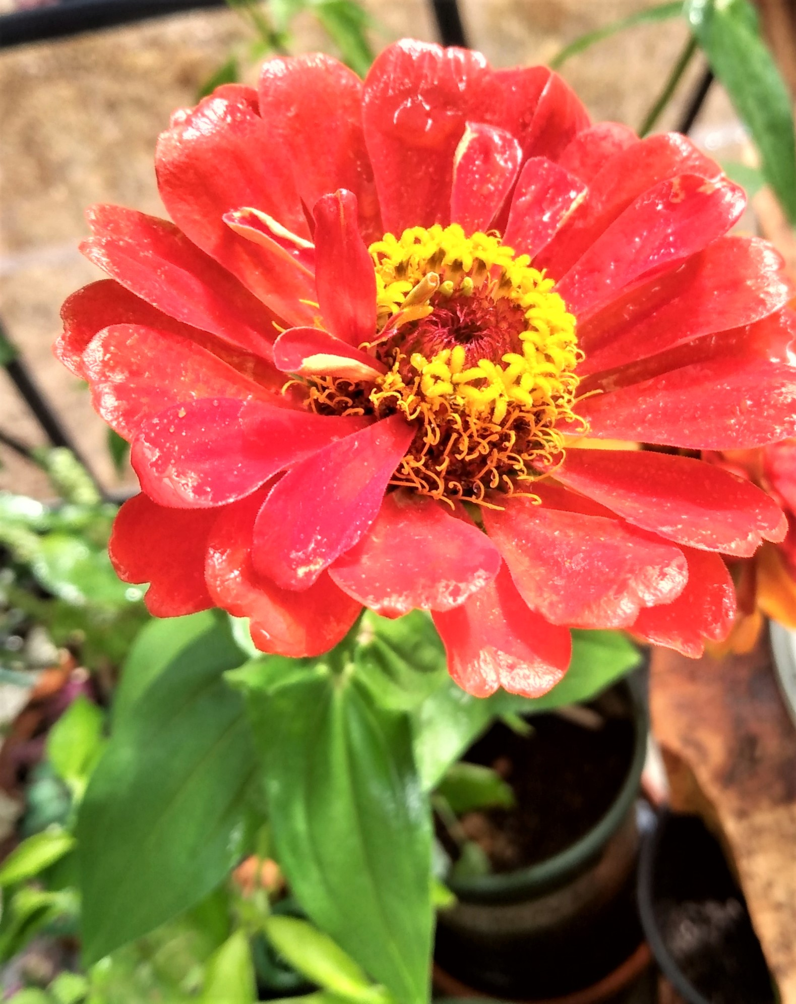 zinnia, drenched